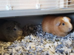 Penny and Poppy are a couple of beautiful 2 year old Guinea pigs looking for their forever home at HART, they can be adopted for just $30 together!